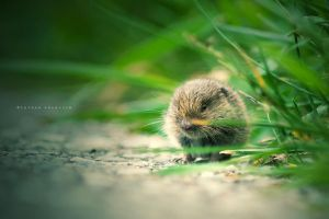 Baby Vole by DREAMCA7CHER