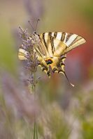 Iphiclides feisthamelii by RGSeby