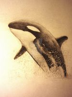 Orca by tabbytiger93