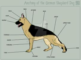 Shepherd - Anatomy by MauserGirl