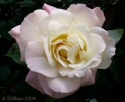 Pale Pink Rose 144 by Eolhin