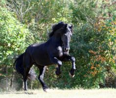 Mighty Keegan Friesian Stock by LarissaAllen