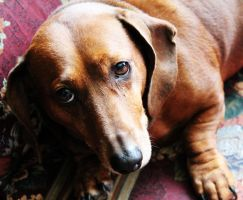 Dachshund Sanford by photographygirl13