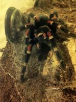 Mexican Flame Knee Tarantula (19) by emmys-stock