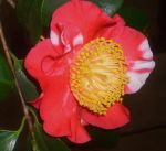 look to center of camellia by ingeline-art