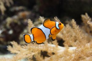 Clown Fish by PlasmaPL