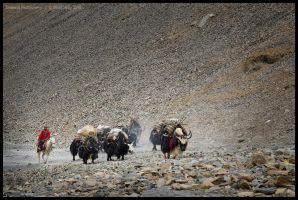 Yaks ascend towards Bagala La by Dominion-Photography
