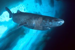 Shark Species ID: Greenland Shark by Namyr