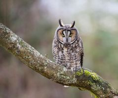 Long-eared owl by deseonocturno