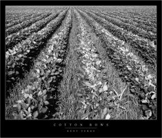 Cotton Rows by wulfster