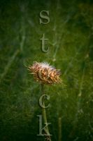 Thistle1 by JillAuville