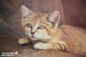 The sand cat by Allerlei