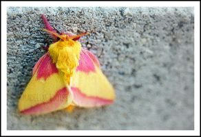 Rosy Maple Moth by MaddLouise