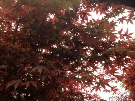 Japanese Maple Leaves by lamorth-the-seeker