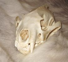 Wolverine skull reference by lamelobo