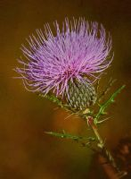 Thistle by Ray4359