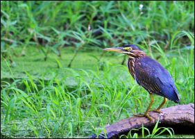 Green Heron by mydigitalmind