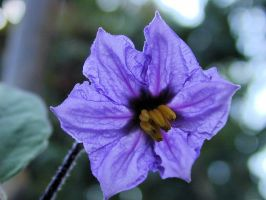 aubergine flower by faxstaff