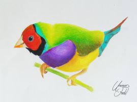 A Gouldian Finch - Colored pencils by f-a-d-i-l