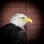 Bald Eagle Portrait 2 by Coigach