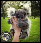 SOLD- Handmade Poseable Baby Koala Bear! by Wood-Splitter-Lee
