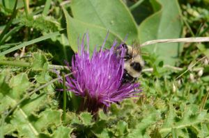 Thistle and Humble bee by albyper84