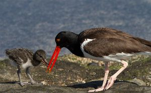 Oystercatcher by DPaZZa