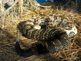 Timber Rattlesnake Stock by stormymay888