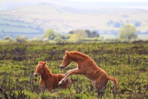 Playful Ponies by mattbarber