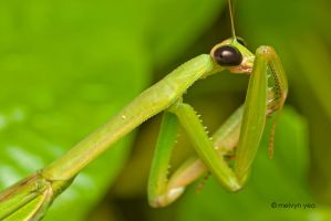Camera Shy Mantis by melvynyeo