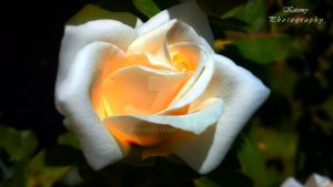 White rose. by Missorys