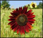 Blood Red Sunflower by MistressVampy