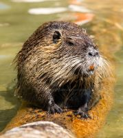 Nutria_01 by Barakwolf
