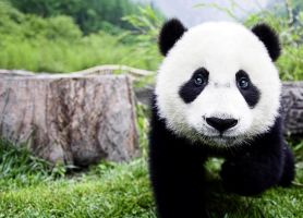 Panda Panimal by jagged66