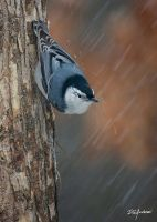 Nuthatch Sleet and snow by DGAnder