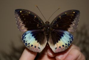 Archduke Butterfly by TheButterflyBabe