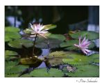 Water lilies. by Phototubby