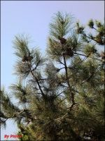 green pine by piticus41