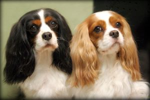 CAVALIER BEAUTIES by CRYROLFE