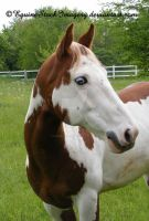 Paint Horse 26 by EquineStockImagery