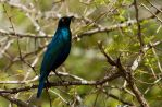 Glossy Starling by parallel-pam