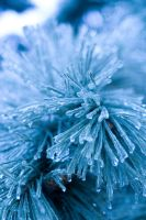 Snow Urchin 3 by danlev
