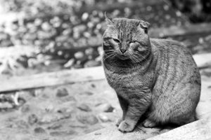 The boss cat by Amersill