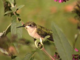 Ruby-Throated Hummingbird 16 by rouquinamour
