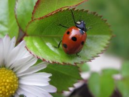 Miss Daisy Ladybird by JulieFairhurst