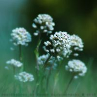 clover flowers 1 by brut-all