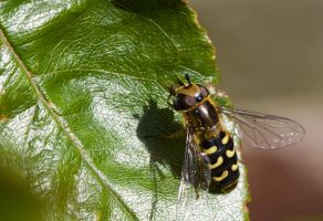 Hoverfly by VolcanicDom