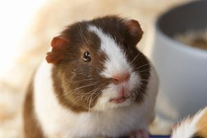 Guinea Pig2 by NickiStock