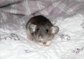 Baby Rat stock image - 3 weeks today! by NickiStock