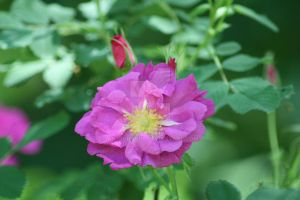 Pink Rose by AstronSoul